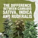 Diferencias entre el Cannabis Sativa, Indica y Ruderalis