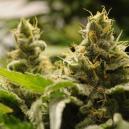 Top 5 variedades autoflorecientes fáciles de cultivar