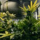 Usar CO₂ para aumentar tus cosechas de marihuana