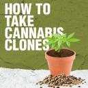 Cómo Hacer Clones de Cannabis