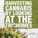 Cosechar Cannabis Mediante la Observación de los Tricomas