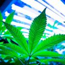 Luces LEC para el cultivo de cannabis