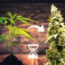 6 pasos para maximizar la producción de las variedades autoflorecientes