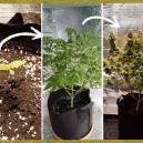 Fases de cultivo de una planta de cannabis