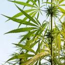 La anatomía de una planta de marihuana