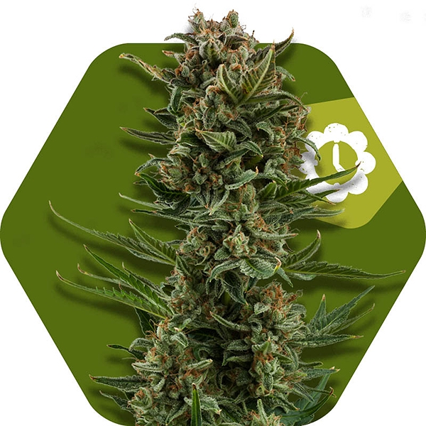 White widow xl autofloreciente for Autofloreciente interior