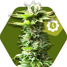 Power Kush Autofloreciente