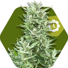 Big Bud XXL Autofloreciente