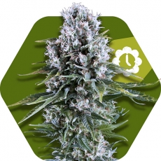 Northern Lights XL Autofloreciente