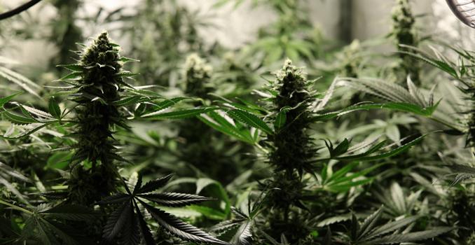 C02 cultivo de cannabis