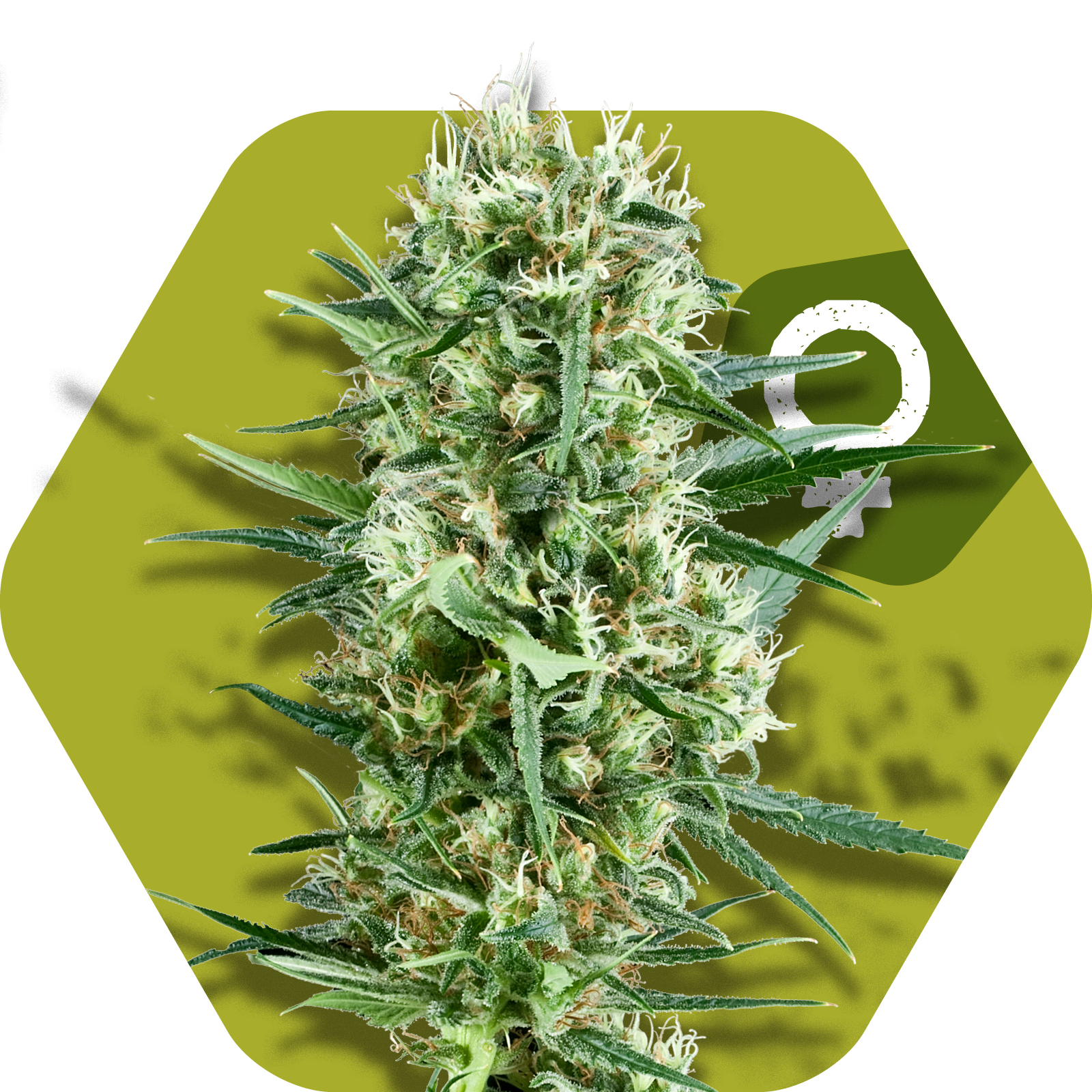 crazy cookies feminized cannabis strain