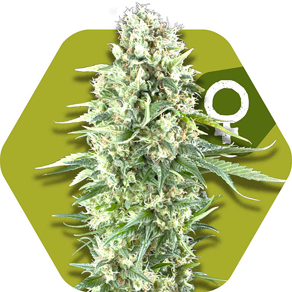 power plant xl feminized cannabis strain