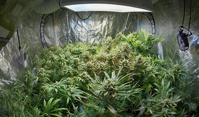 cannabis growroom