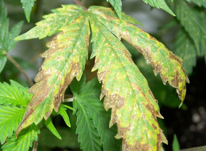 Deficiencia de potasio qu es y c mo solucionarla for Potasio para plantas