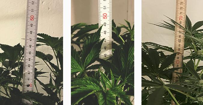 697c4d407d58 Pros y contras de la utilización de perlita para el cultivo de cannabis
