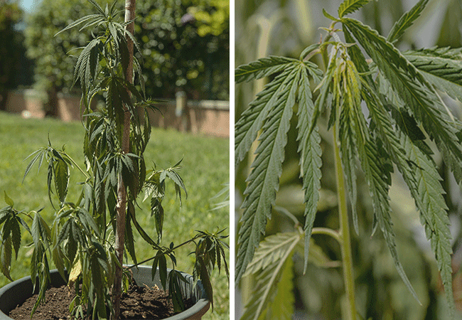Symptoms of underwatering cannabis plants