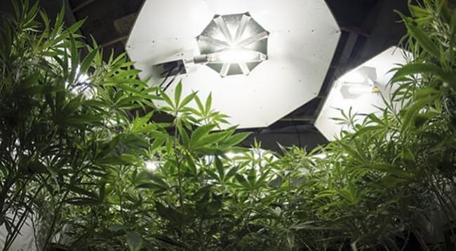 La Cantidad Óptima De Luz Para Plantas De Cannabis