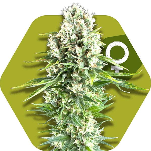 Northern Lights XL Semillas de Cannabis Feminizadas