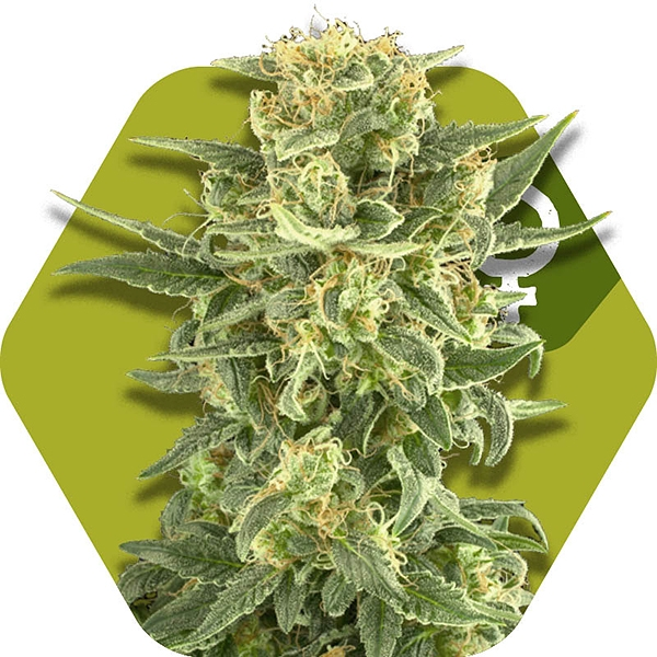 White Cheese Fast Flowering Cannabis Seeds