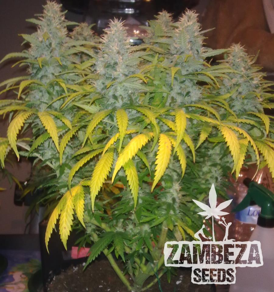 White Widow XL planta de marihuana