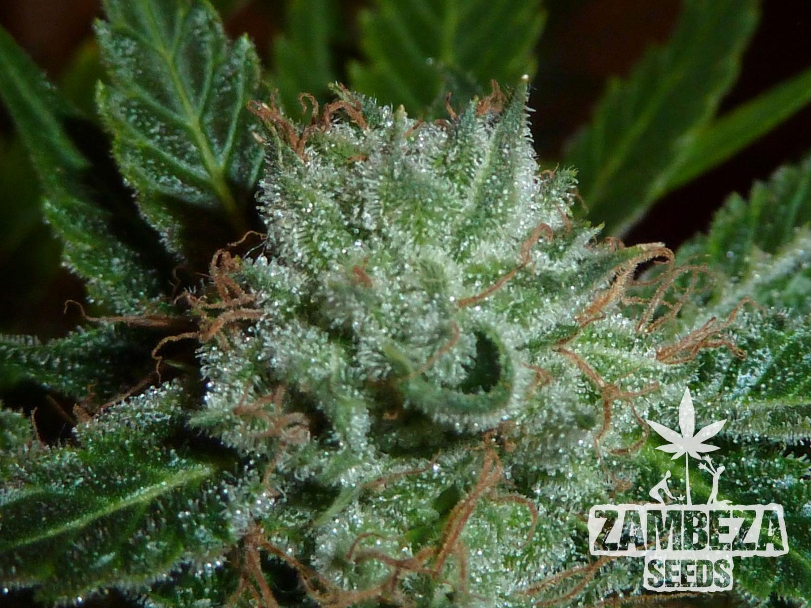 Zambeza Seeds White Widow Semillas de Cannabis