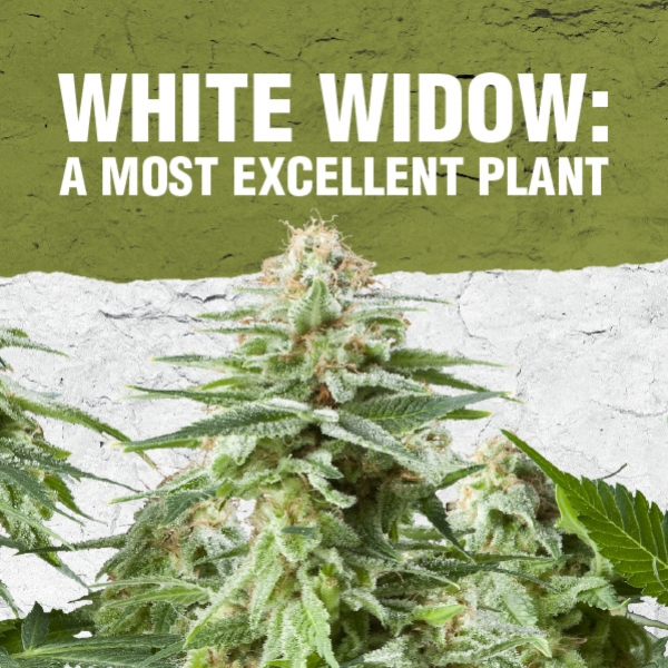 White Widow: Una excelente planta