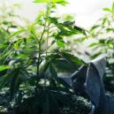 La fase vegetativa de la marihuana