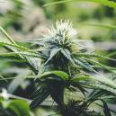 Fase de floración del cannabis
