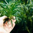 ¿Qué hacer cuando tus plantas de marihuana no florecen?