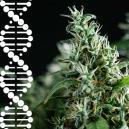 Cómo crear y conservar tus propias genéticas de cannabis