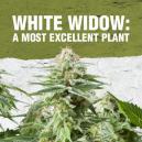 White Widow: Una excelente planta