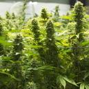 Las mejores formas de aumentar tu cosecha de marihuana