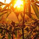 Cultivo exterior de cannabis: ¿Cuánta luz necesitan las plan