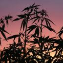 ¿Por qué es importante el ciclo de oscuridad para la marihua