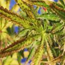 Causas de las hojas de cannabis secas y cómo prevenirlas