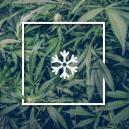 Cultivar marihuana en climas fríos