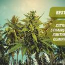 Las mejores variedades de cannabis sativa para climas cálido