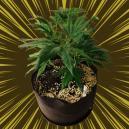 ¿Qué es la perlita y cómo se usa para cultivar cannabis?