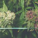 Cómo cultivar cannabis morado