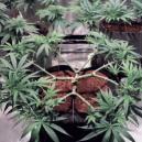 Cómo aplicar el main-lining en el cannabis