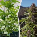 Cómo trasladar tus plantas de cannabis de interior al exteri