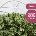 Las 4 variedades de cannabis más productivas de Zambeza