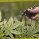 Cómo y por qué aplicar esprays foliares al cannabis