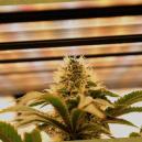 Guía completa de luces de cultivo para cannabis autoflorecie
