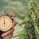 Ciclos de luz para plantas de cannabis autofloreciente