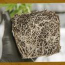 Cómo rescatar las plantas de marihuana con raíces enredadas