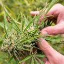 Causas de estrés para la planta de marihuana