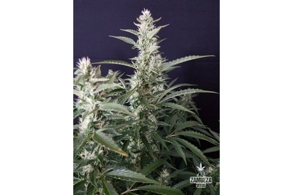 White Widow XL Autofloreciente